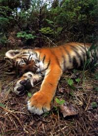 Tigers_0149
