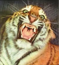 Tigers_0466