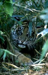 Tigers_0707